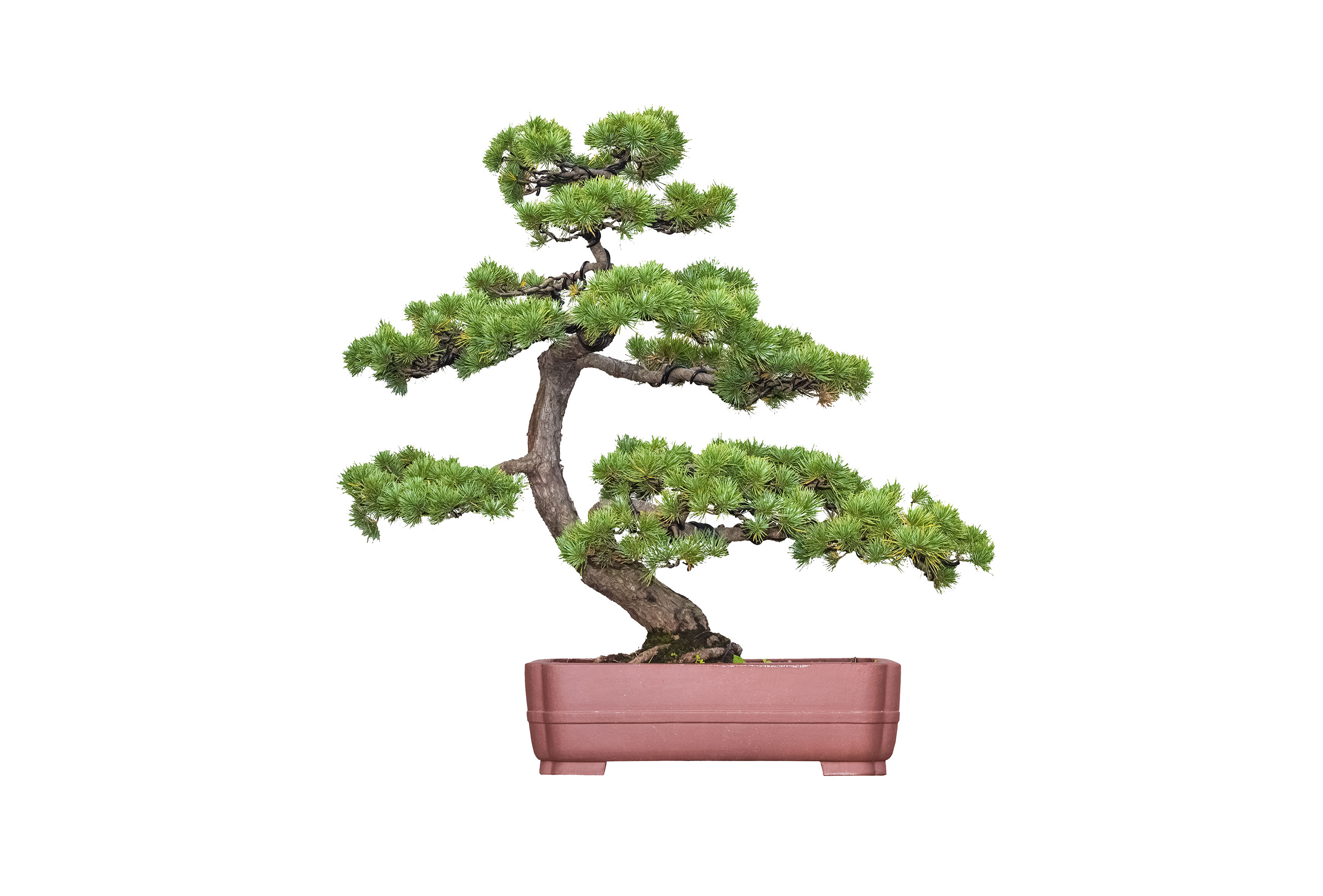 The Art Of Bonsai Age Old