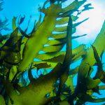 Kelp Can Help!