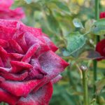 Powdery Mildew: The Unwanted Guest